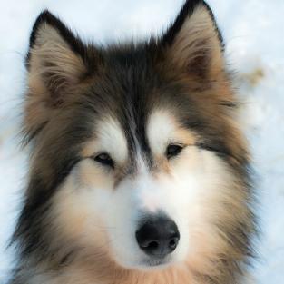Traîneau à chiens Mékinac tuile 313X313