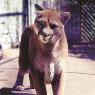 wpid-zoo-de-st-_douard-cougar-dj.jpg