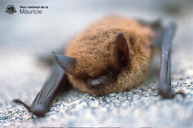 chauve-souris-parc-national-mauricie