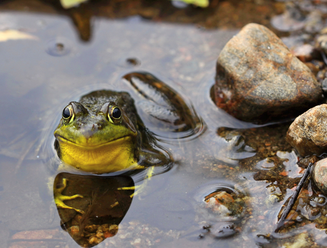 Lieu : Saint-Élie-de-Caxton Ambiance reliée : Bain de nature Description : Une grenouille sur le bord d'un lac en train de sourire à la vie.