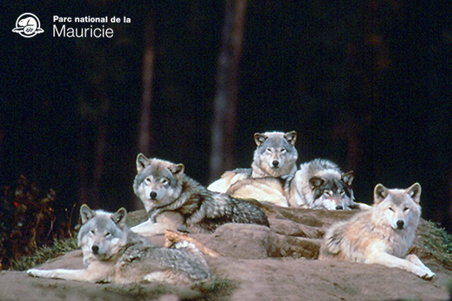 loups-parc-national-mauricie