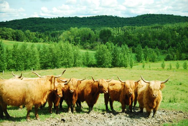 cowboy-vache-baluchon