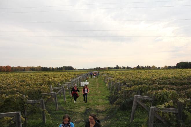 vendanges-domaine-vins-gelinas