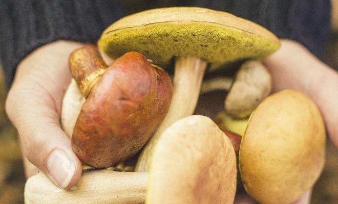 Filière mycologique-cueillette de champignons
