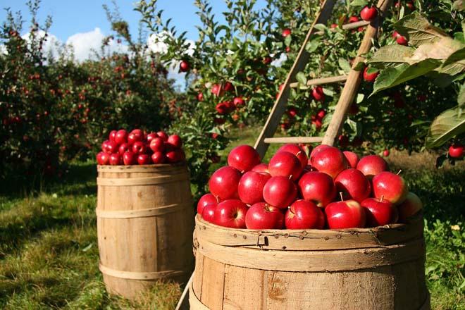 Cueillir des pommes en Mauricie