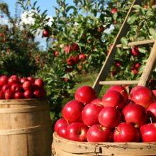 Autocueillette de pommes et vergers en Mauricie