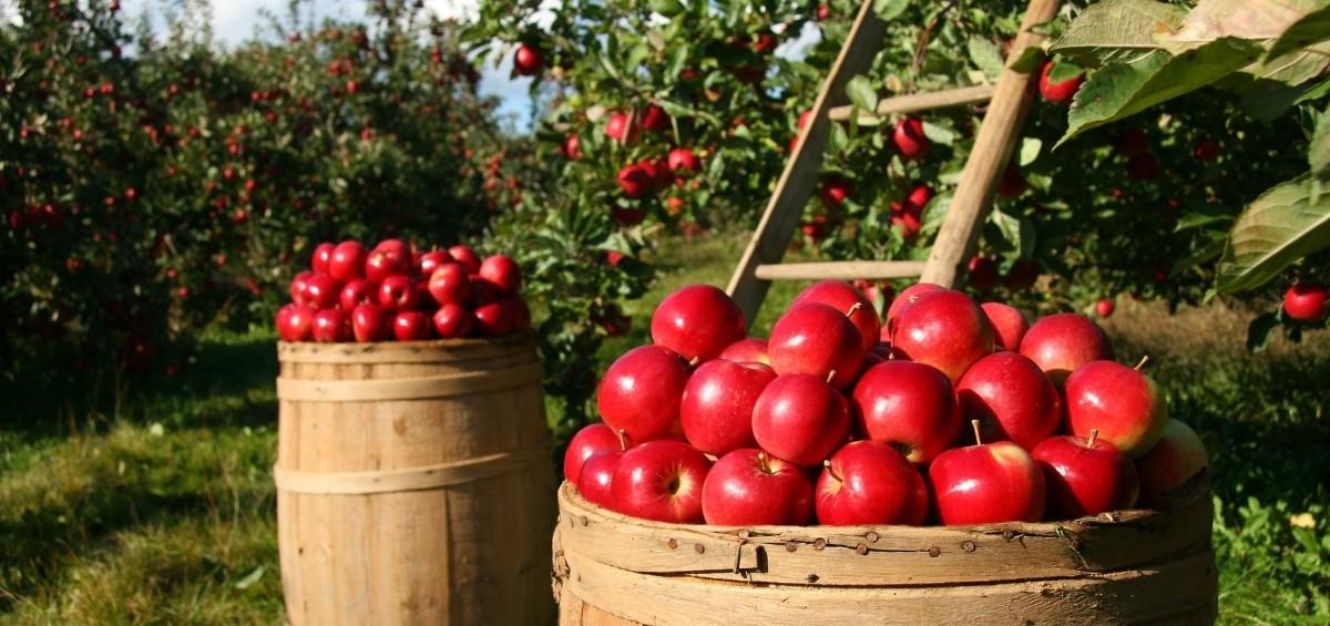 Où faire l'autocueillette de pommes en Mauricie