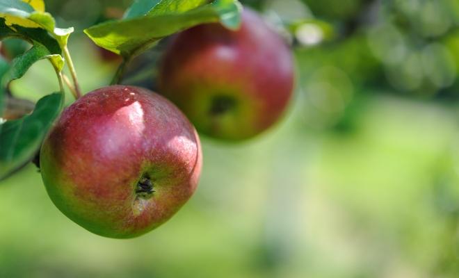 verger pour cueillir des pommes du québec