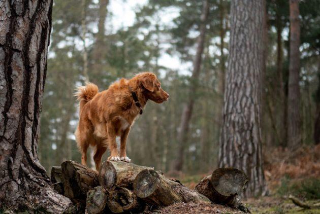 chien-foret-chalet-pourvoirie