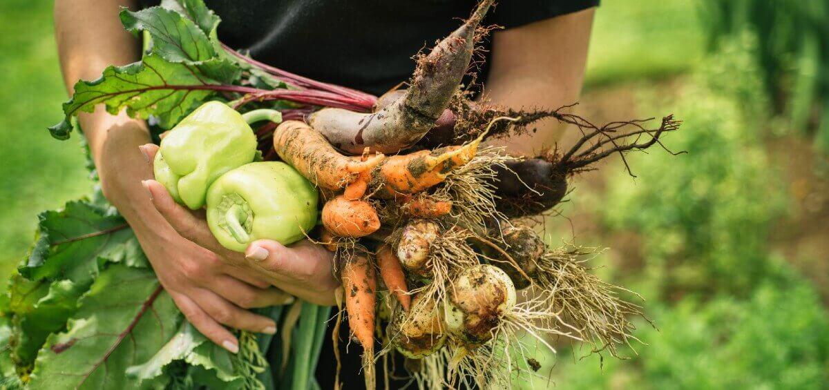 Jardin potager et légumes frais de saison