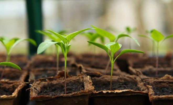 Partir ses plants de légumes pour transplanter dans son jardin potager