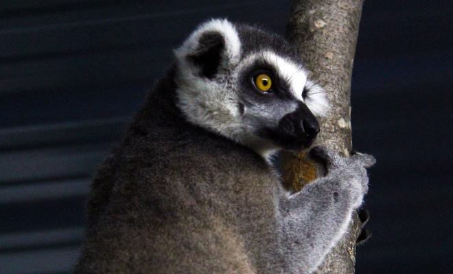 Lémur du Ranch Dupont, activité à faire en famille en Mauricie